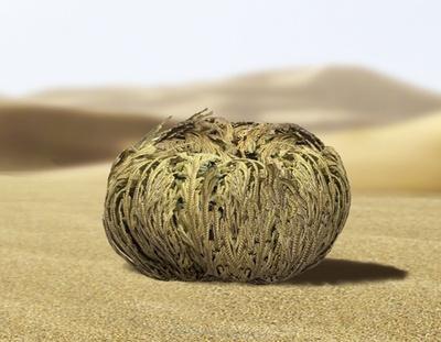 【写真を見る】丸まった状態でタンパク質を貯蔵するローズ・オブ・ジェリコ