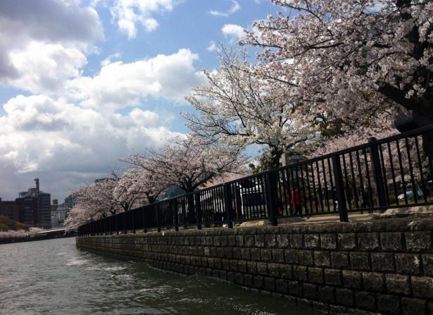 桜ノ宮の桜も満開。お花見客も多い様子