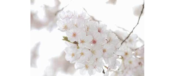 花見は桃山時代から流行していた!