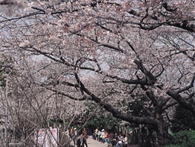 主要スポットの桜チェック!まずは千鳥ヶ淵の桜からスタート! (写真提供:日本観光協会)