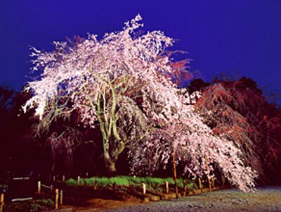 調布の野川の桜もキレイ