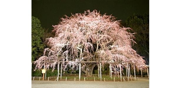 名所・六義園のしだれ桜