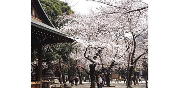 靖国神社の桜も (写真提供:日本観光協会)