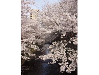 目黒川沿いの桜も有名 (写真提供:日本観光協会)