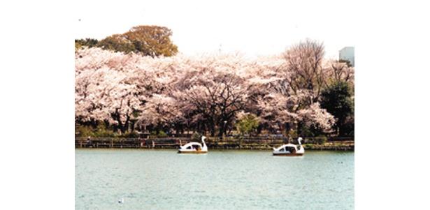 知る人ぞ知る名物花見スポット「洗足池」 (写真提供:日本観光協会)