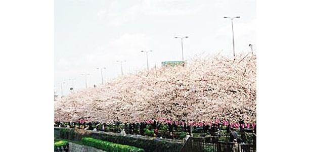 日本一!?隅田川の桜 (写真提供:日本観光協会)