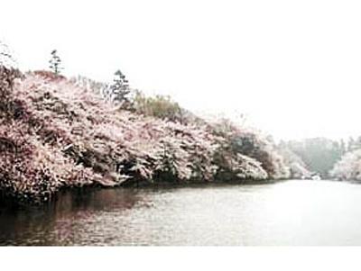 井の頭公園の桜 (写真提供:日本観光協会)