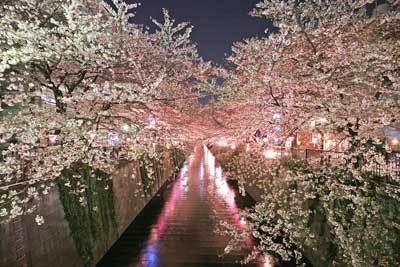夜は妖艶なピンク色の道に!目黒川の並木道