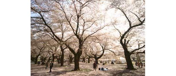 密度No.1の小金井公園は、約1700本のソメイヨシノが咲き誇る