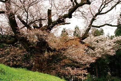 なんと江戸時代から咲き続ける!光厳寺のシロヤマザクラ