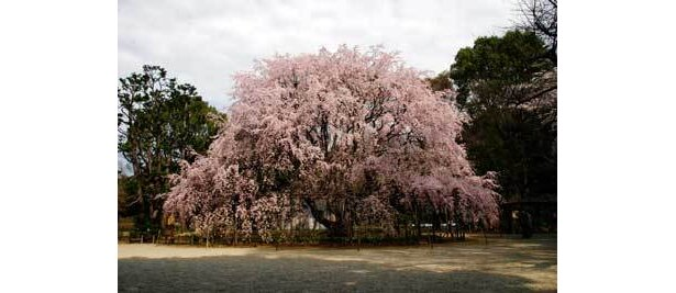 超でかい!六義園には都内一の大木が(写真はイメージ)