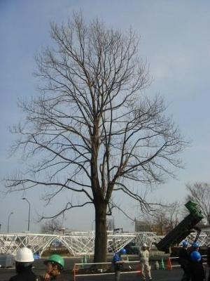 「ENEOS ラ・マシン」の棲家となるユリの木は春には緑色の葉が茂る