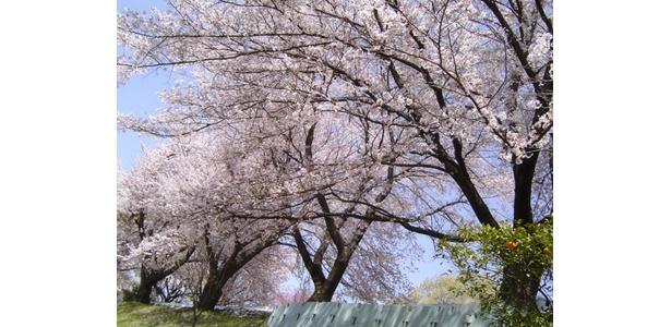 待ちに待ったお花見シーズンはもうすぐ!