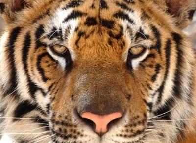 今回の謎解きのきっかけとなるメスのトラ