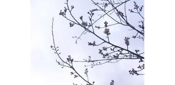 開花したばかりの桜も強風にあおられる。がんばれ!