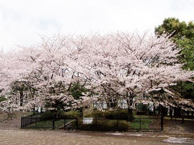 足立区No.1の千本桜!