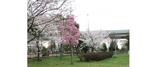 昨年3月に完成した「舎人公園千本桜」