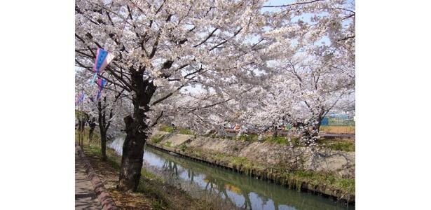 海老川両岸には約500本もの桜並木が広がる