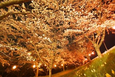 昼より幻想的なのが、夜桜の魅力
