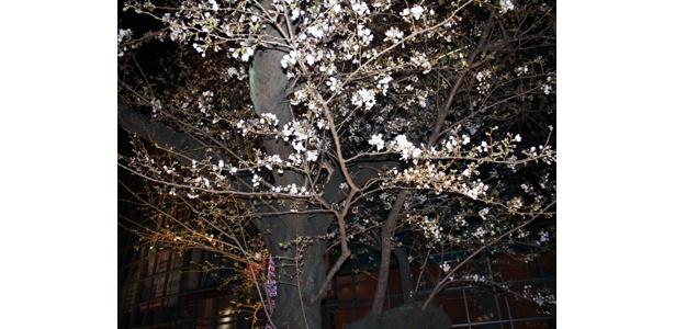 今が見ごろ!ヒルズの枝垂桜は8分咲、ソメイヨシノは4分咲!