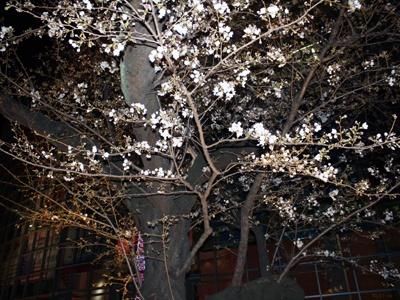 毛利庭園は桜の名所でもある
