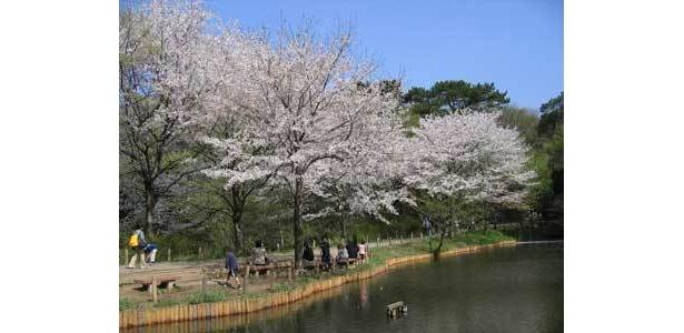 白金にある自然教育園は、珍しい桜が見られるのも魅力