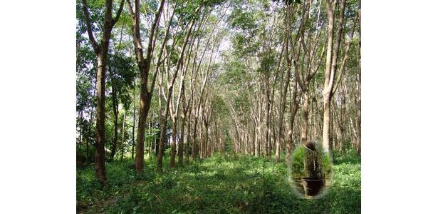 ラテックス素材を生むゴムの木は、二酸化炭素を吸収して抑えてくれるエコ素材。
