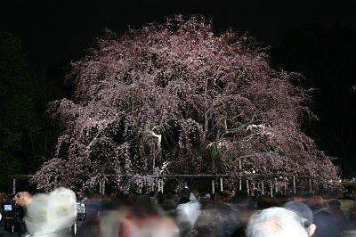 夜桜はやっぱり幻想的! 六義園の夜桜
