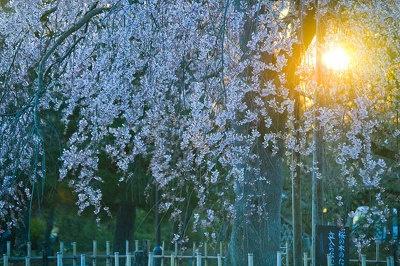 【嵐山】「まさしく日の出の嵐山です。一瞬しか見ることができない桜、ぜいたくでしょう?」写真家・サダマツヨシハルさん※2009年3/26撮影