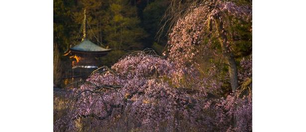 【嵐山】「刺すような朝陽のほうがきれいな桜が撮影できるんですよ」写真家・サダマツヨシハルさん※2009年3/26撮影 〜他の写真はコチラから〜