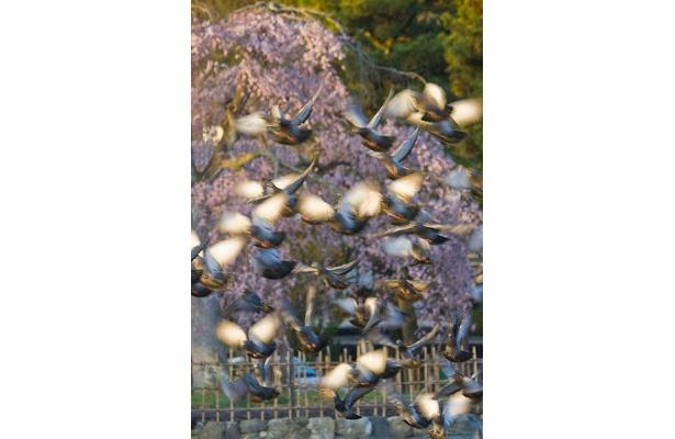 【嵐山】「ハトに餌を上げているおばさんがいて、たくさんのハトが集まっていました」写真家・サダマツヨシハルさん※2009年3/26撮影