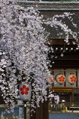 【平野神社】「桜の名所で有名な平野神社です。早咲きのシダレザクラがもう満開でした」写真家・サダマツヨシハルさん※2009年3/26撮影