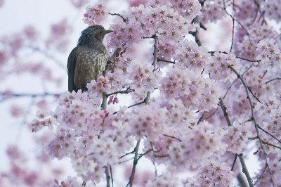 【平野神社】「朝早くの撮影だったので、人気はなかったですが鳥がすでにお花見をしていました」写真家・サダマツヨシハルさん※2009年3/26撮影