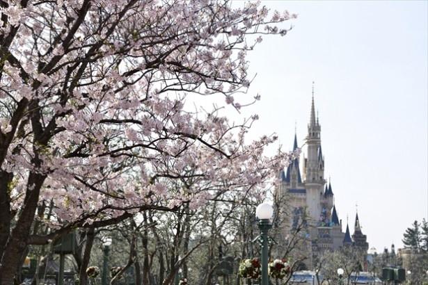 ディズニーの春グッズを手に入れてパークでお花見しよう!