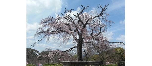 取材を受けた3/28は急に冷え込み、円山公園はまだまだ咲き始めでした