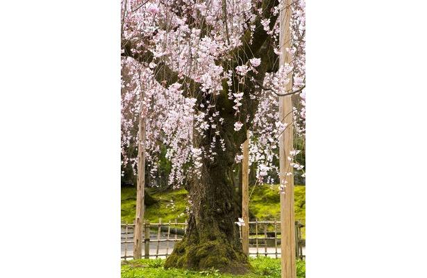 「昼過ぎから人手が増えますので、ゆっくり公園を散歩しながら花見をするなら午前中がおすすめです」(サダマツ談)