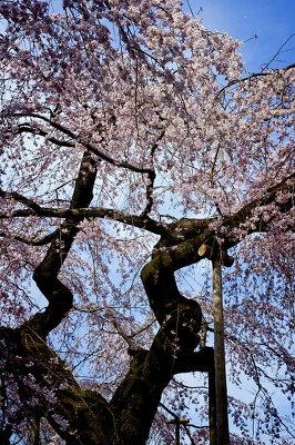 「樹齢81年のシダレ桜が有名ですが、年を追うごとにあまりうまく咲かなくなってきているのが残念。ほかにもシダレ桜がきれいに咲いてました」(サダマツ談)