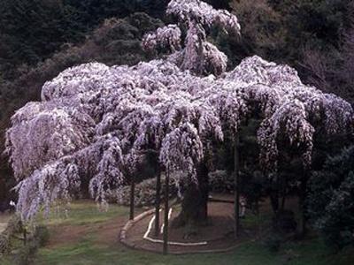 長興山紹大寺のしだれ桜は、4月中旬が見ごろ (写真提供:日本観光協会)