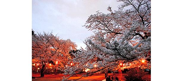 ライトアップがキレイな城山公園の桜 〜小田原の桜名所ラインナップはコチラ〜