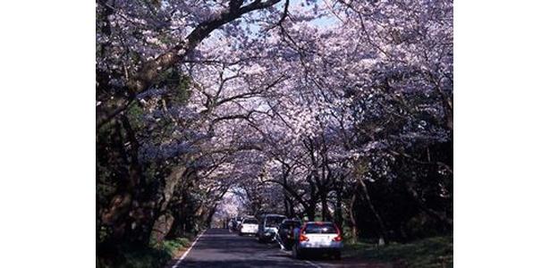 沼代桜の馬場の桜は圧巻 (写真提供:日本観光協会)