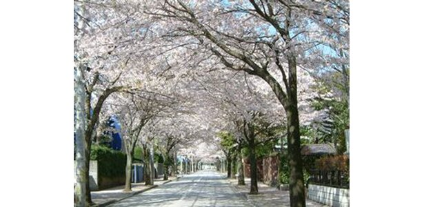 西海子小路のピンク色の桜は大人気 (写真提供:日本観光協会)