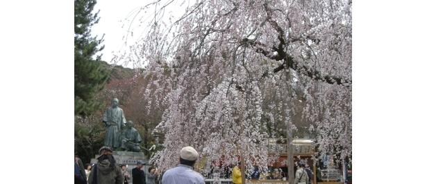 園内奥の坂本竜馬像と中岡慎太郎像の付近のシダレザクラは、もう見ごろ!