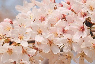 こんな美しい桜に出会いたいですね!