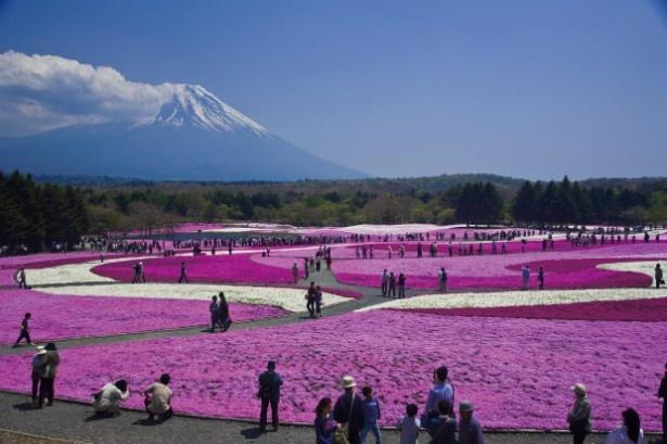 世界遺産の富士山と見事に調和した一面の芝桜