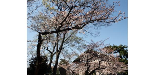 西新井大師の桜は今が満開