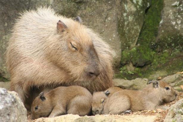 伊豆シャボテン公園でカピバラのキュートな赤ちゃんが誕生