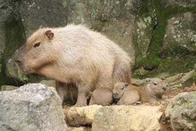 合計12頭のにぎやかな大家族となったカピバラファミ リー
