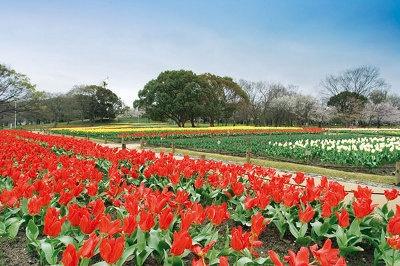 万博記念公園のチューリップの花園では、色とりどりのチューリップ10万5千球が咲き誇る