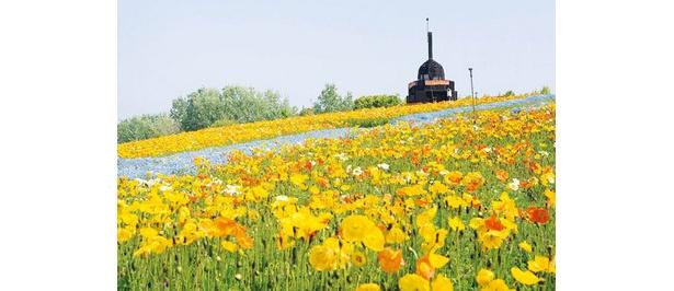 自然文化園の花の丘では、35万本ものポピーが満開に。オレンジ色や黄、白のポピーが、園内を優しく彩る。そのほか、ナノハナや青い花を咲かせるネモフィラなども見ごろ。春の彩りに包まれて、散策を楽しもう。4/11(土)〜29(祝) 時間9:30〜17:00(入館は16:30まで)