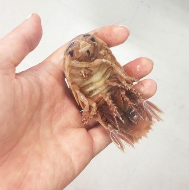【写真を見る】これが実際に触れるオオグソクムシだ!